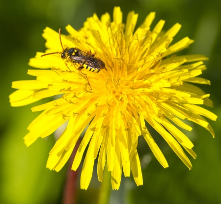 bee collect nectar on dandelion flower photo