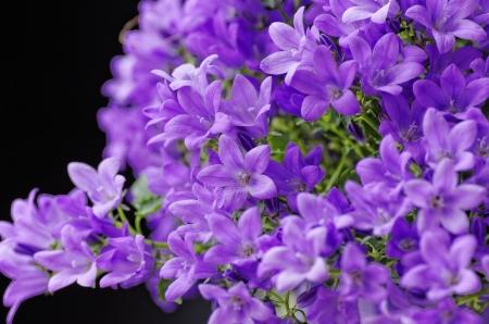 flower of anchusa in my garden