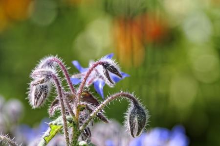 plant of borago in my garden