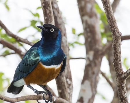 superb: Colorful Superb Starling