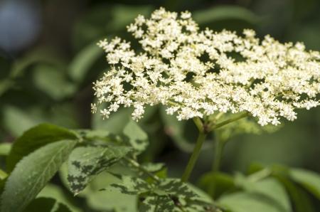 elder flower in my garden