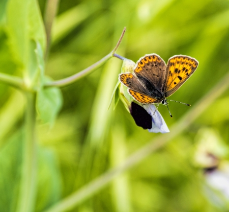 lycaena: Lycaena phlaeas in a meadow