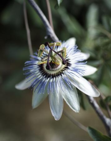 maracuja flower in a garden near my house