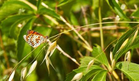 melitaea cinxia in a meadow near la spezia photo