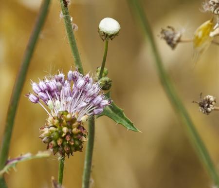 flower of garlic in a garden of my friend photo