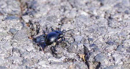 stercorarius: black beetle in my garden near my house Stock Photo