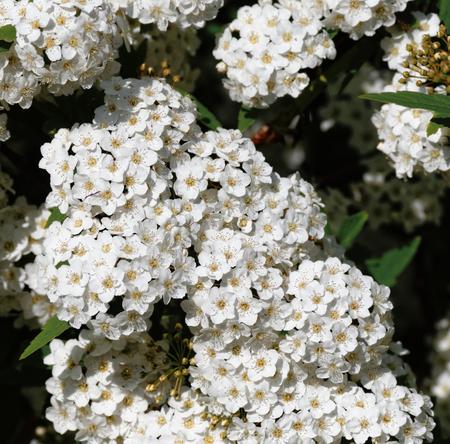 Hawthorn blossom in a garden in la spezia