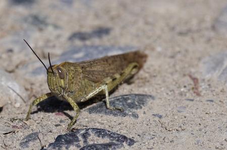 locust in a meadow near la spezia photo