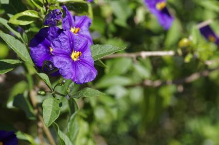 violet solanum in italian garden of my friend