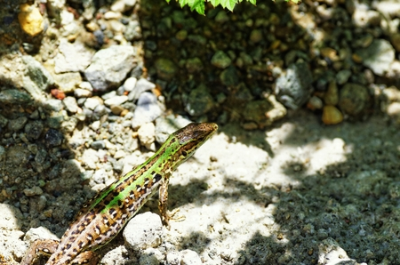 viviparous: beautiful lizard in a meadow in la spezia