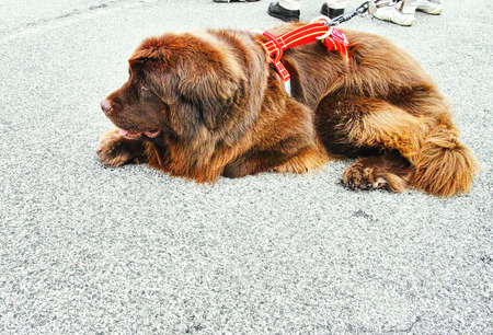 Newfoundland dog breed in an outdoor in italy photo
