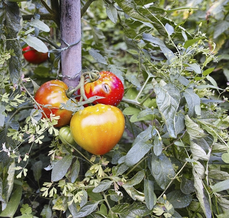 Red tomatoes ripening on vine in my town Stock Photo