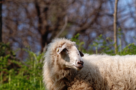 sheep in a meadow near my house photo