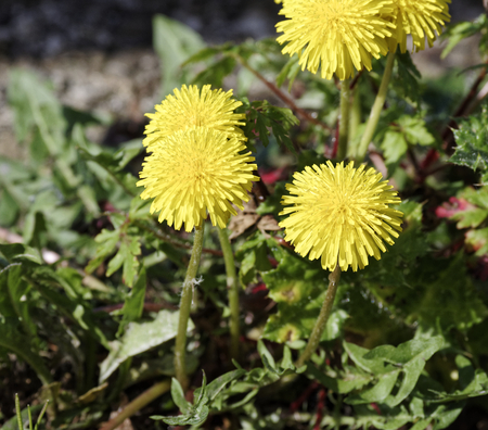 open country: photo of dandelion in a field in open country