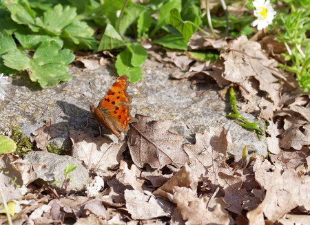 lycaena: butterfly in a garden of my friend in la spezia