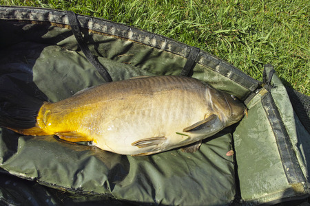 fished: detail of brown big carp fished in a little lake Stock Photo