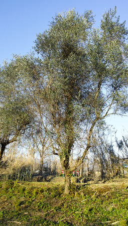 open country: olive grove in a meadow in liguria