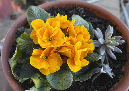 polyanthus: Blooming orange spring primulas in flower bed