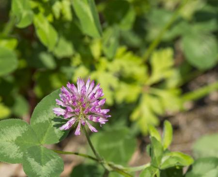 trifolium: trifolium flower in a meadow in la spezia
