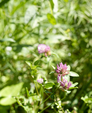trifolium: flower of trifolium in a meadow in la spezia