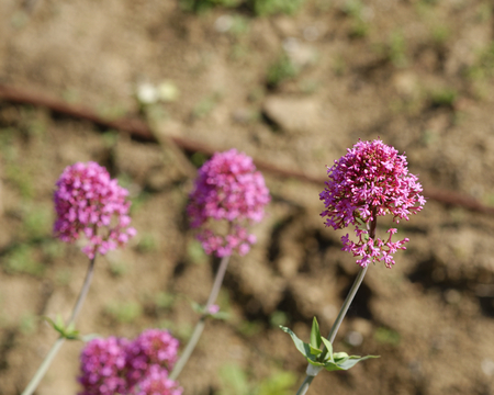 bush to grow up: plant of centranthus in a meadow in la spezia Stock Photo