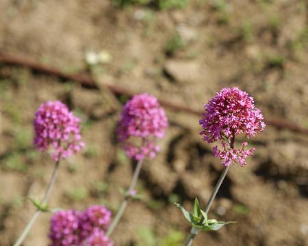 valerian plant: plant of centranthus in a meadow in la spezia Stock Photo