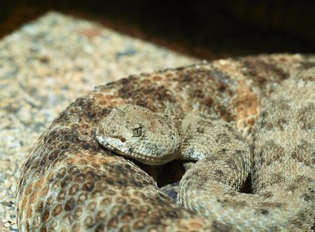 serpiente de cascabel: Primer plano de una serpiente de cascabel de Diamondback occidental