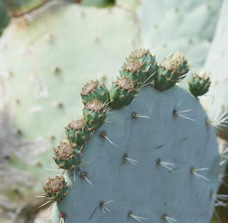 opuntia: plants of opuntia ficus in a garden