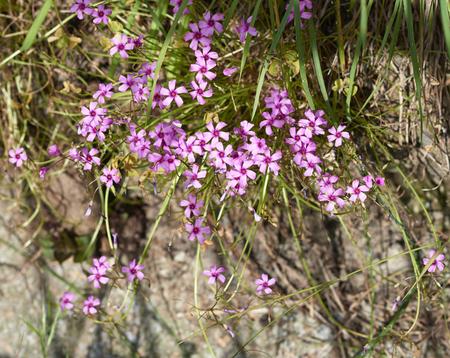 corymbosa: Cute little purple flower oxalis corymbosa in garden Stock Photo