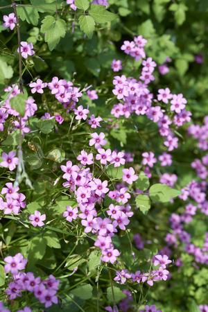 sour clover: Cute little purple flower oxalis corymbosa in garden Stock Photo