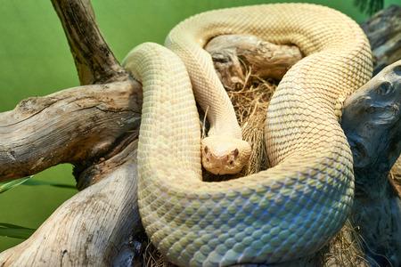 serpiente de cascabel: Albino serpiente de cascabel diamante del Este, Crotalus adamanteus en un museo en genova