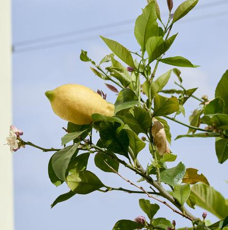 detail of a lemon on top a lemon tree