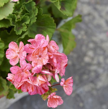 geranium color: detail of geranium in a meadow in la spezia
