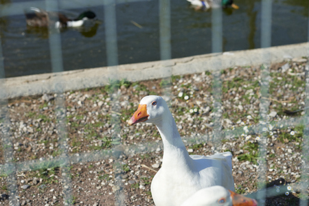 corral: detail of a white duck inside a corral Stock Photo