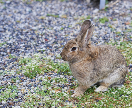 detail of a brown rabbit in a meadow in la spezia photo