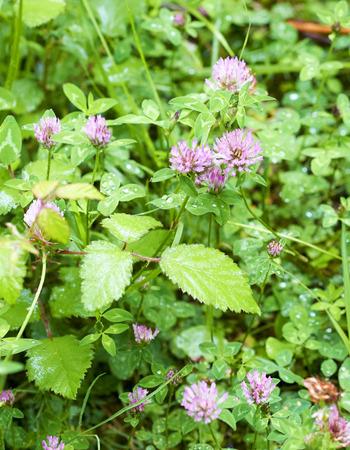 trifolium: flower of trifolium in a meadow in la spezia