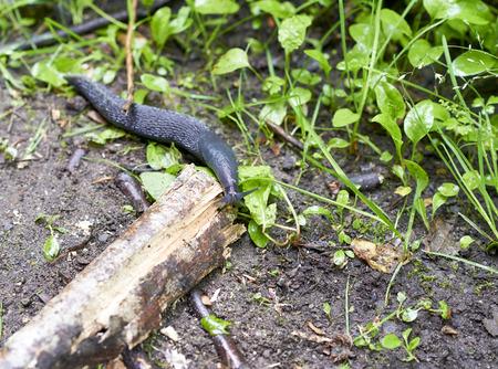 creep: Black slug in the grass near La spezia