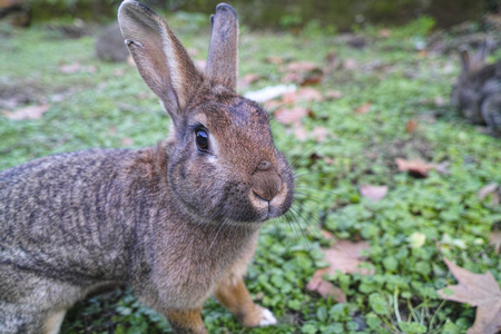 rabbit: detail of a brown rabbit in a meadow in la spezia Stock Photo