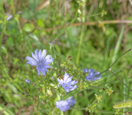 chicory flower: detail of a chicory flower in a meadow Stock Photo