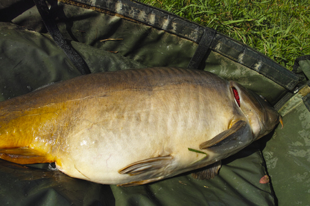 fished: photo of a big carp fished in a lake