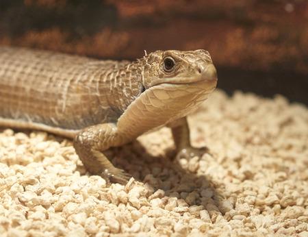 viviparous: detail of gerrhosaurus lizard in a museum