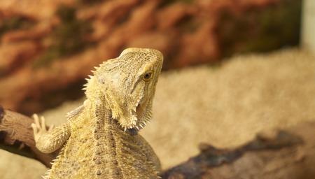 bearded dragon: detail of australian bearded dragon in a museum Stock Photo