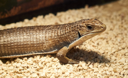 viviparous lizard: detail of gerrhosaurus lizard in a museum