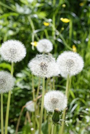 alliaceae: flowers of dandelion in a garden