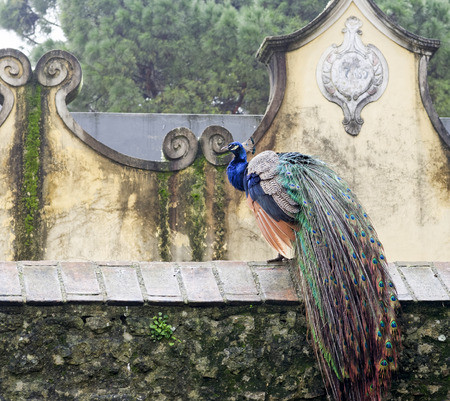 peahen: detail of peacock in the garden of sao jorge