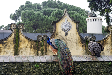 jorge: detail of peacock in the garden of sao jorge