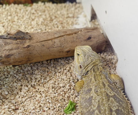 and diurnal: detail of australian bearded dragon in a museum Stock Photo