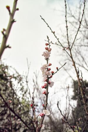 stamen wasp: flower of peach in a garden during a raining day