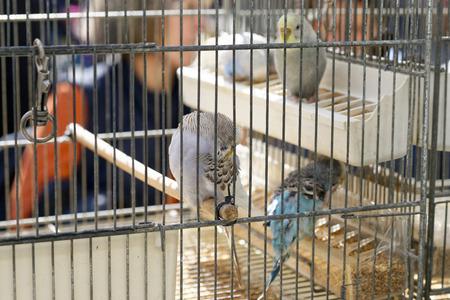 periquito: detalle de periquito en una jaula en Italia