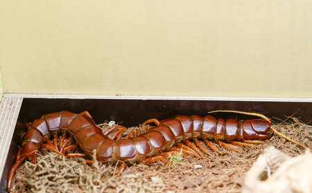 gigantea: detail of a scolopendra gigantea in a museum Stock Photo